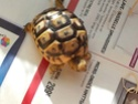 tortue greque ou hermann Img-2012