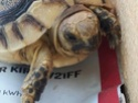 tortue greque ou hermann Img-2013