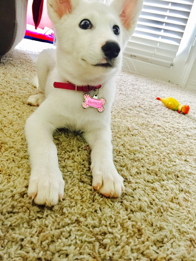Our new husky pup! And questions about ears! - Page 2 Img_1811
