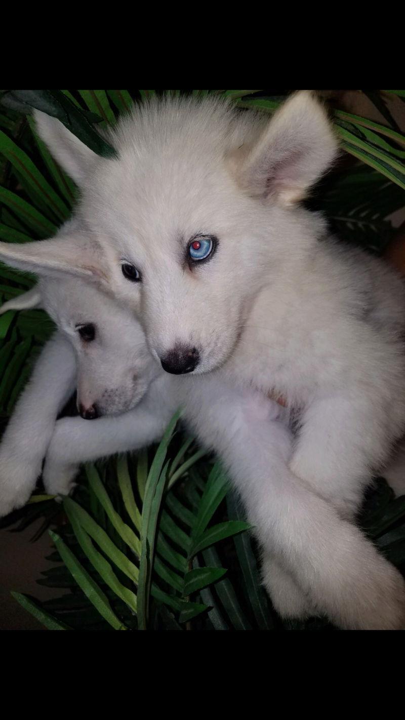 Is she a Siberian Husky? Img_2013