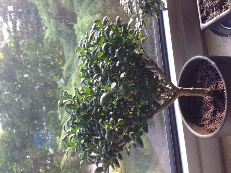 Aiuto identificazione bonsai Img_2011