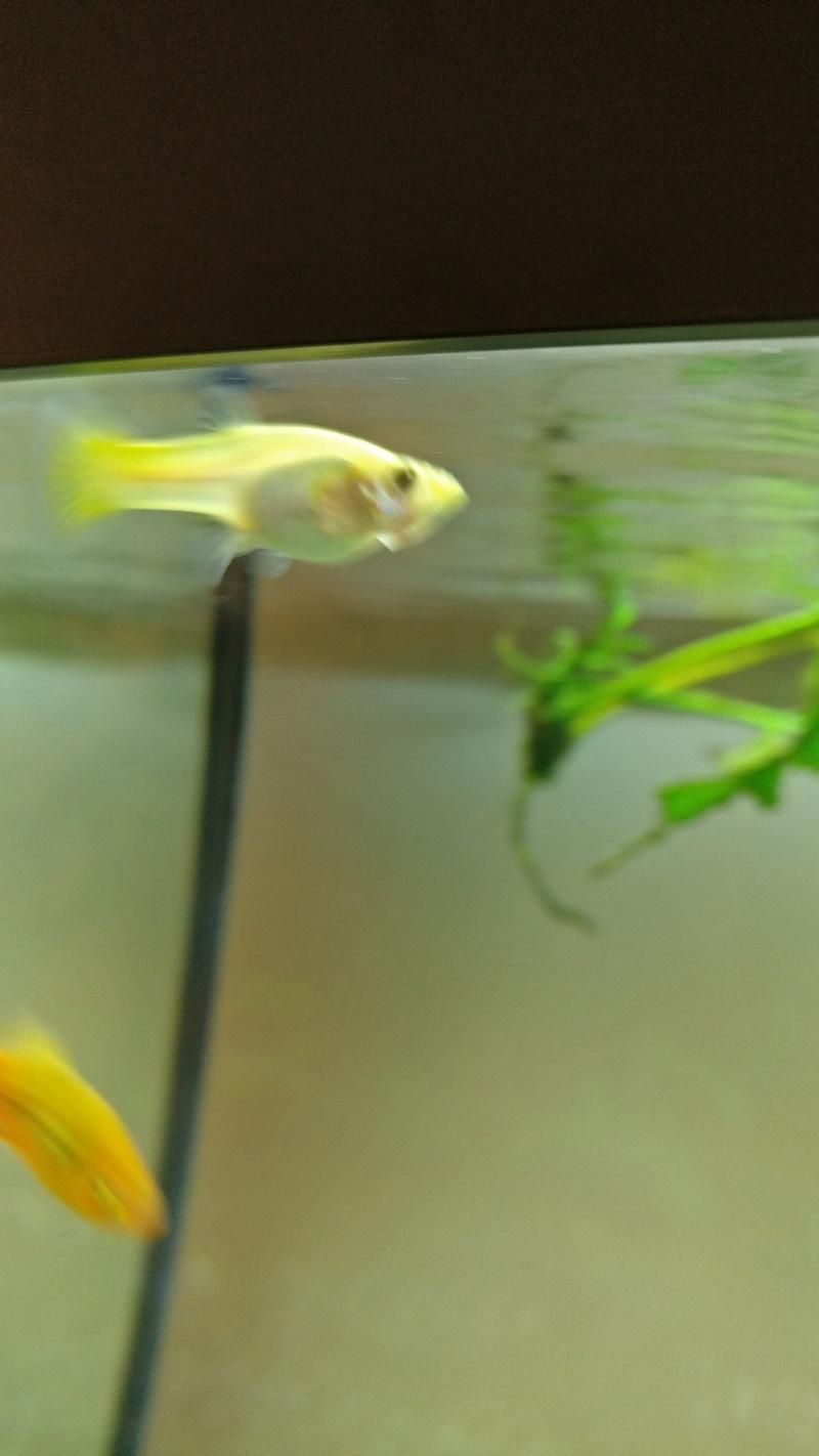Femelle guppy gravide ? Img_2011