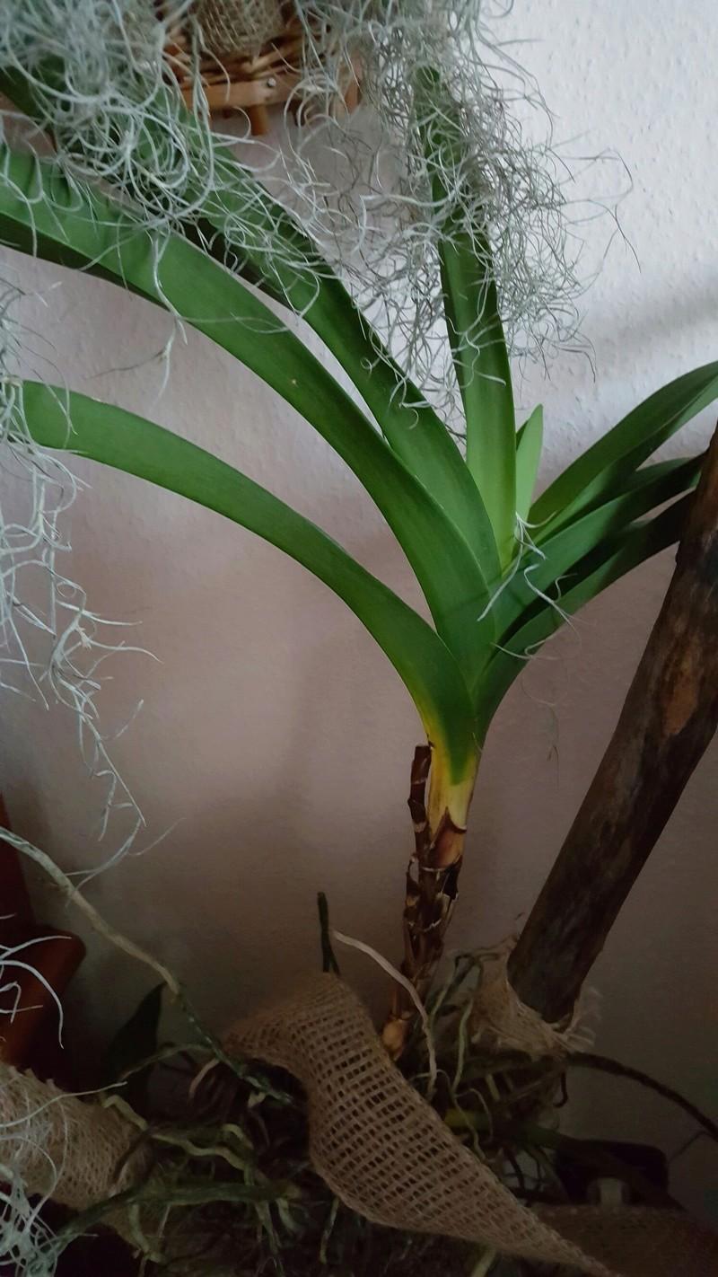 Phalaenopsis haben komische Triebe und Blüten 20170715