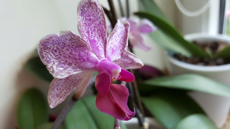 Phalaenopsis haben komische Triebe und Blüten 20170717