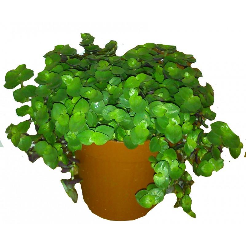 Peut on mettre ce genre de plante ,? Callis10