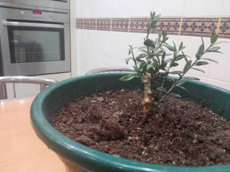 Bonsai de olivo Img_2011