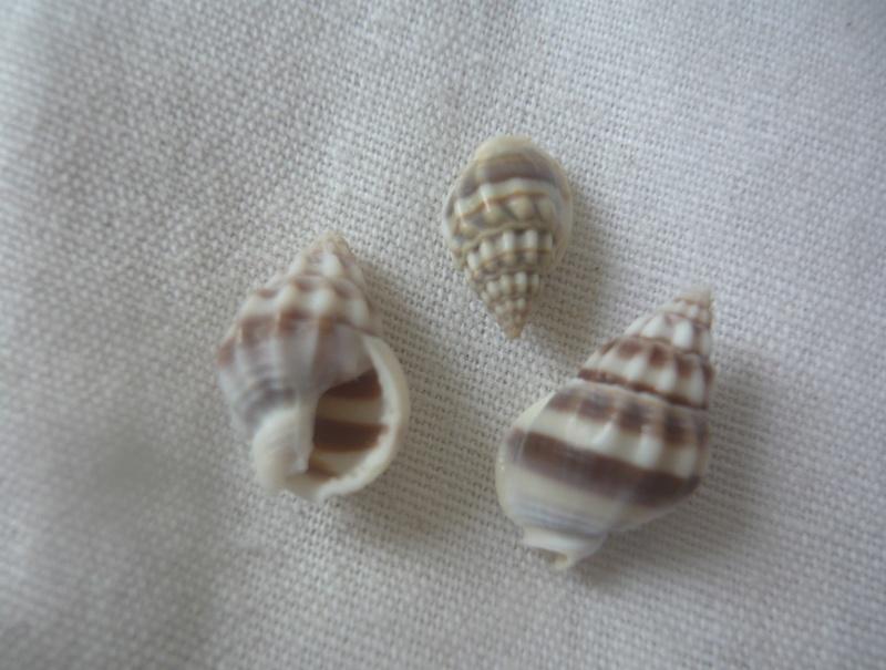 Nassarius stolatus (Gmelin, 1791) 2 et Nassarius jacksonianus  (Quoy & Gaimard, 1834) 1 P1040027