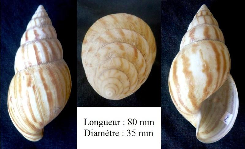 Lissachatina fulica (Férussac, 1821)  - Page 4 P1040321