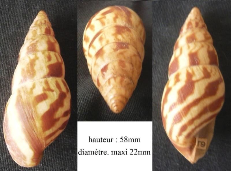 Limicolaria flammea  (Müller, 1774) P1040322