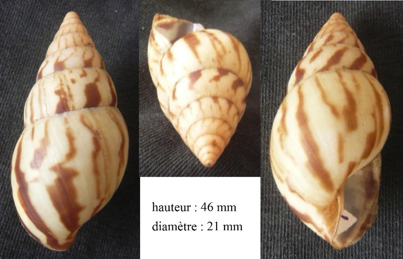 Limicolaria flammea  (Müller, 1774) P1040323