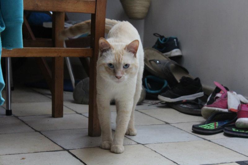harlan - HARLAN, chat européen red point, yeux bleux, né en 2012 Img_1511