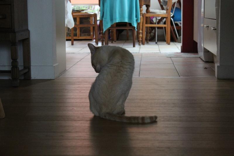harlan - HARLAN, chat européen red point, yeux bleux, né en 2012 Img_1512