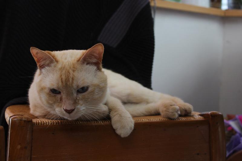 harlan - HARLAN, chat européen red point, yeux bleux, né en 2012 Img_1513