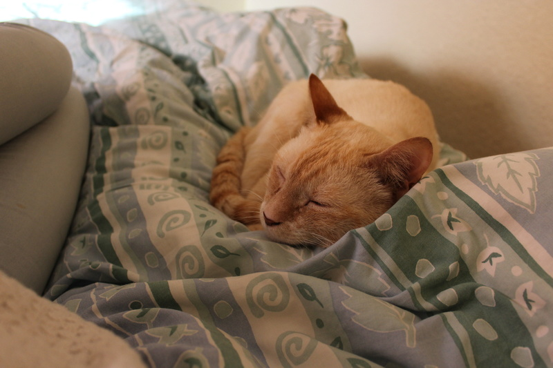 harlan - HARLAN, chat européen red point, yeux bleux, né en 2012 Img_1514