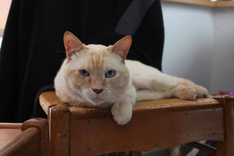 harlan - HARLAN, chat européen red point, yeux bleux, né en 2012 Img_1515