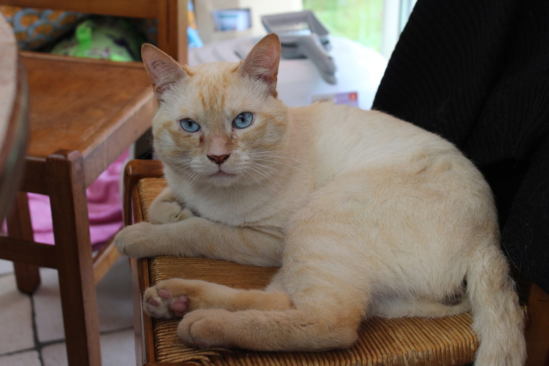 harlan - HARLAN, chat européen red point, yeux bleux, né en 2012 Img_1516