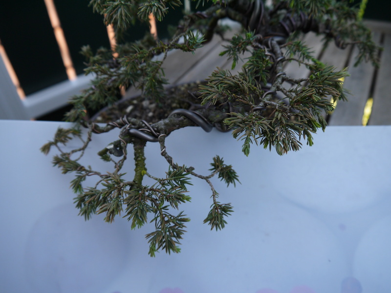 Juniper needles turning brown P1040814