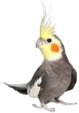 قسم طائر الكوكتيل