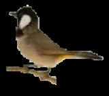 قسم طائر البلبل
