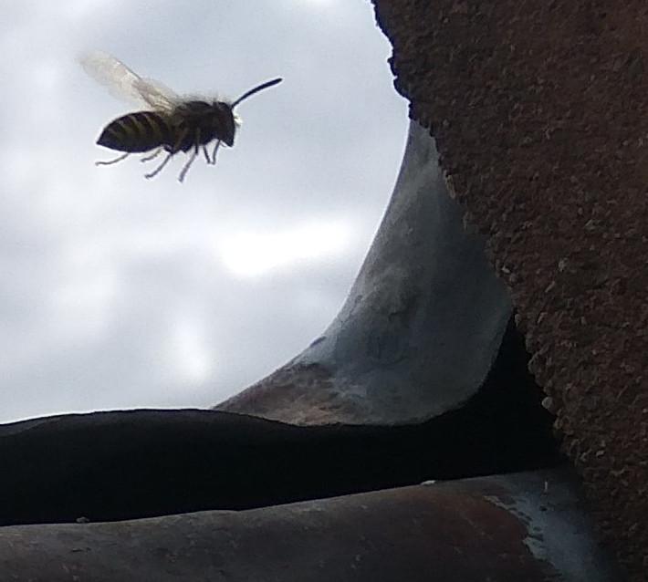 guêpes dans le toit Guepe_28