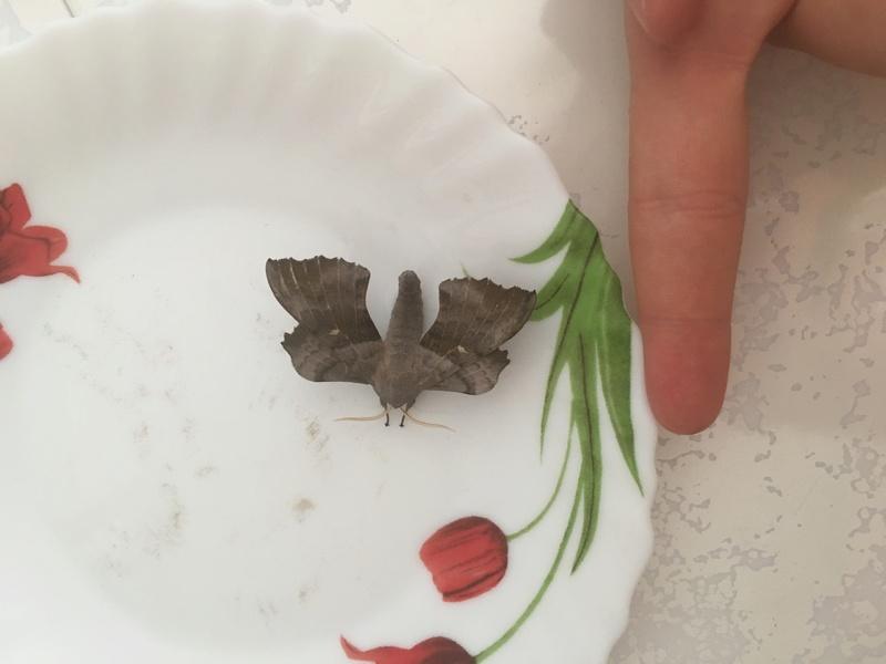 j'ai trouvé un papillon obèse sosie de batman est ce que quelqu'un peut l'identi Img_4110