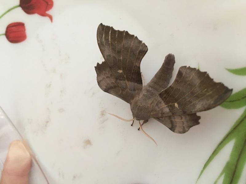 j'ai trouvé un papillon obèse sosie de batman est ce que quelqu'un peut l'identi Img_4111