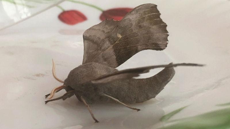 j'ai trouvé un papillon obèse sosie de batman est ce que quelqu'un peut l'identi Img_4112
