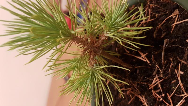 Primo bonsai di Pino Mugo 20170710