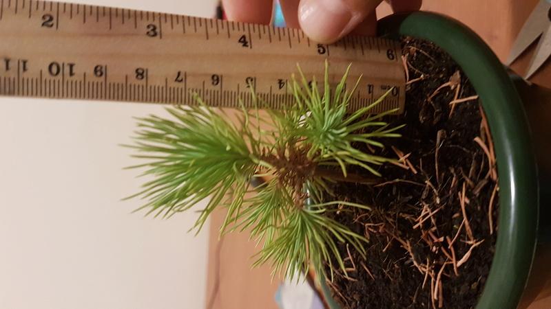 Primo bonsai di Pino Mugo 20170711