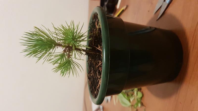Primo bonsai di Pino Mugo 20170712