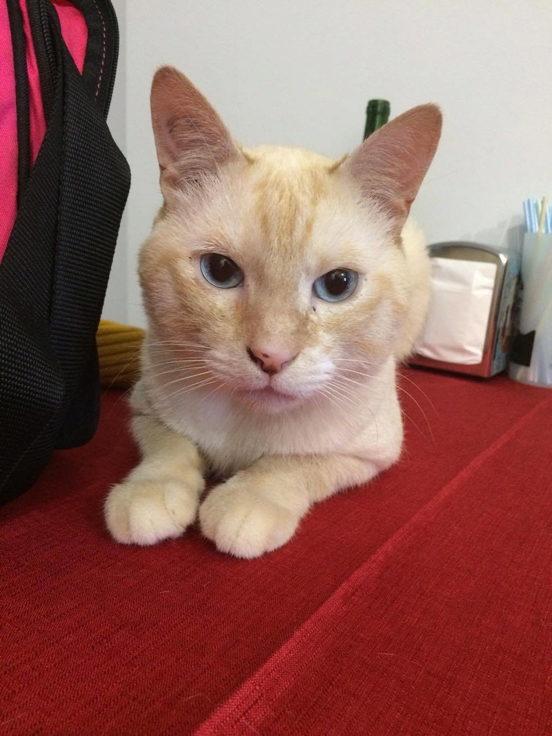 harlan - HARLAN, chat européen red point, yeux bleux, né en 2012 20960810