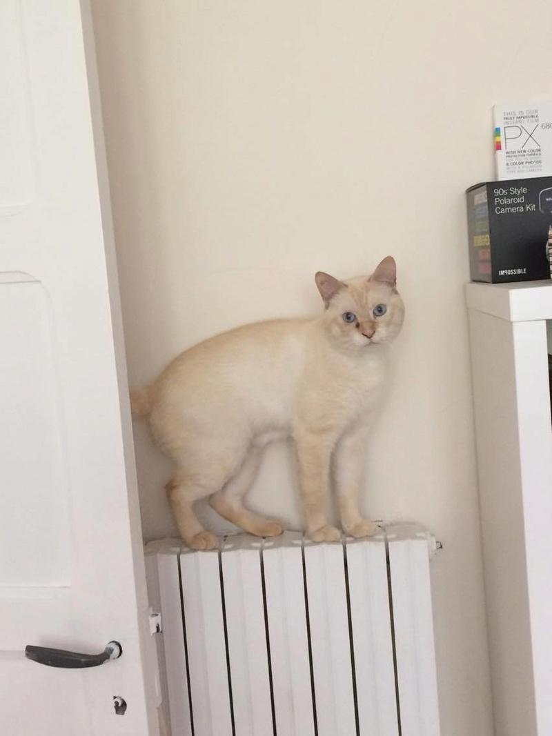 harlan - HARLAN, chat européen red point, yeux bleux, né en 2012 21742210