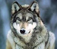 Ficha de Jasper Lockwood Wolf-i10