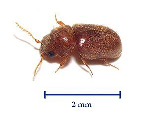 [Anobiidae] tout petit insecte marron 290px-10
