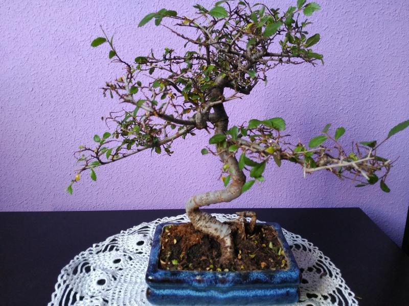 Zelkova parvifolia pierde hojas 110