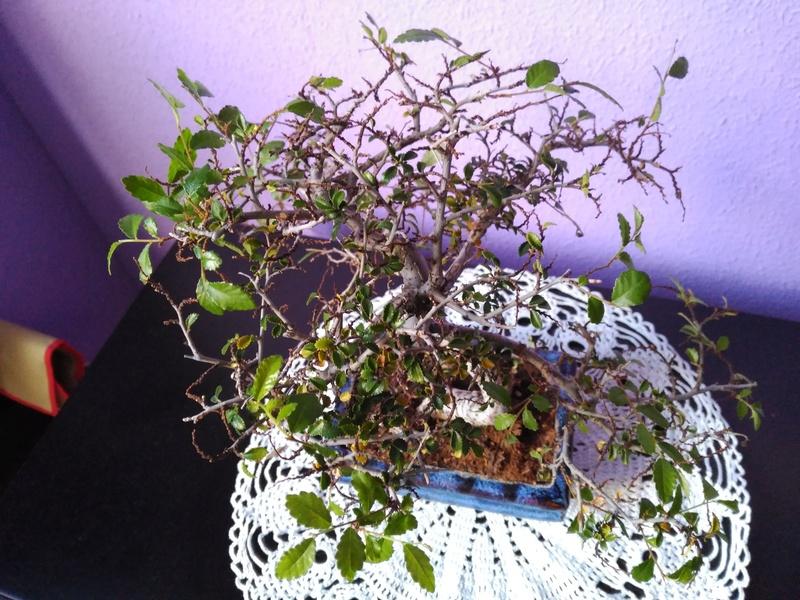 Zelkova parvifolia pierde hojas 210