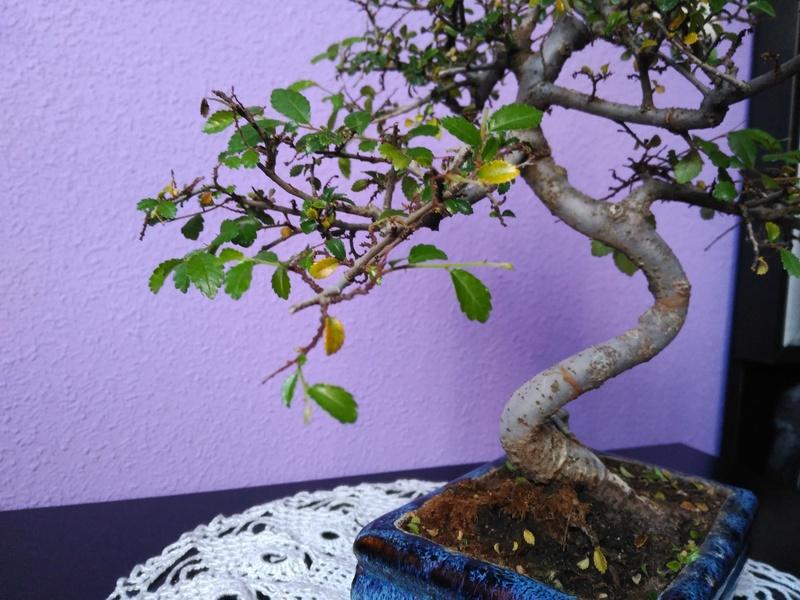 Zelkova parvifolia pierde hojas 310