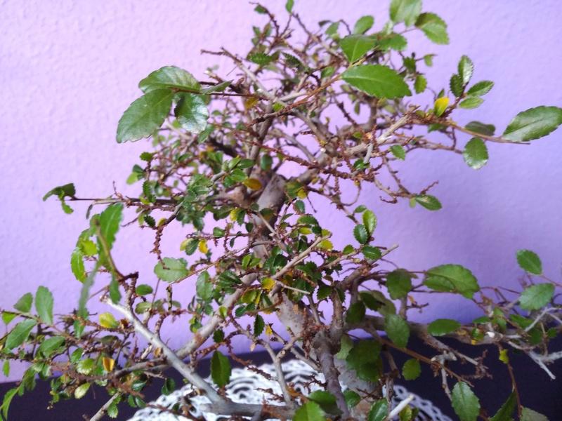 Zelkova parvifolia pierde hojas 410