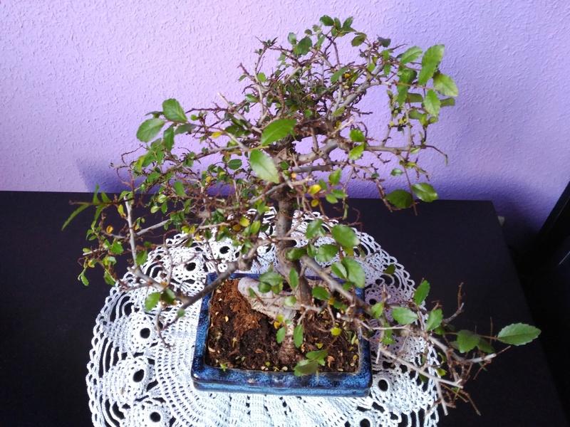 Zelkova parvifolia pierde hojas 610