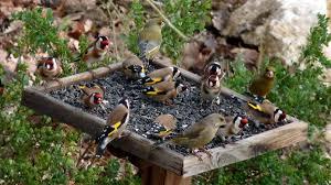 المنتدى العربي لطيور الزينة و الحيوانات الأليفة - البوابة المنتدى 110