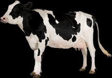 المنتدى العربي لطيور الزينة و الحيوانات الأليفة Cow10