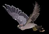 المنتدى العربي لطيور الزينة و الحيوانات الأليفة Falcon10