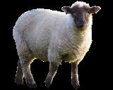 المنتدى العربي لطيور الزينة و الحيوانات الأليفة Sheep10