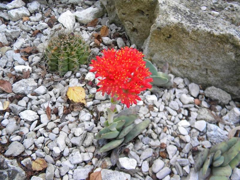 Crassula perfoliata var. falcata (= C. perfoliata var. minor = C. falcata) - Page 2 Crassu10
