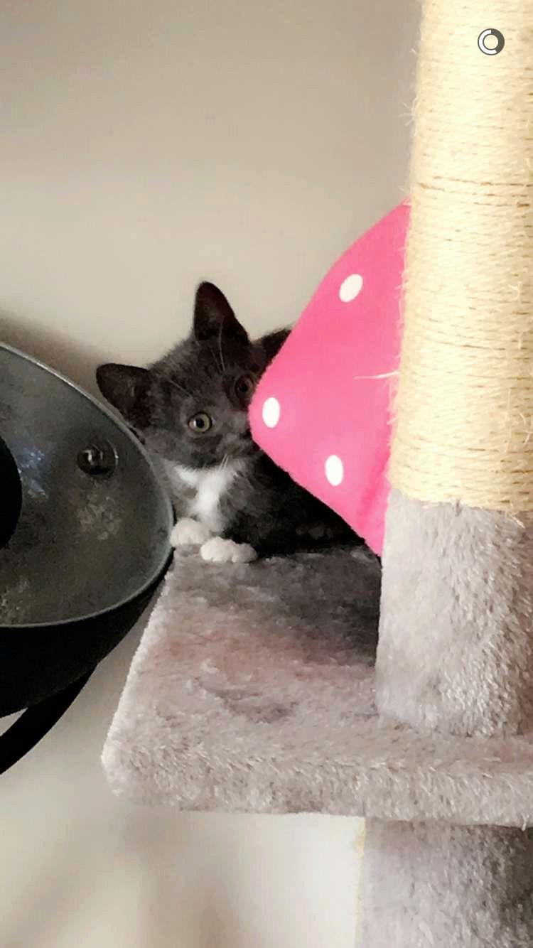 nestor - NESTOR, chaton mâle gris et blanc, né début Mai 2017 Img_3314
