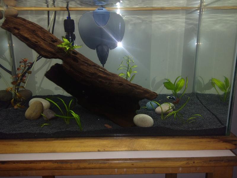 Nuevo acuario 60 litros guppys orejones Img_2010