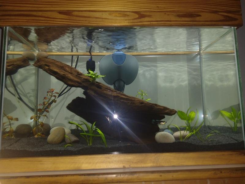 Nuevo acuario 60 litros guppys orejones Img_2012