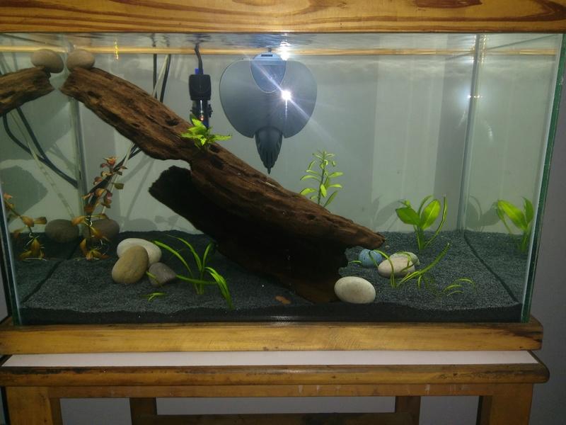 Nuevo acuario 60 litros guppys orejones Img_2013