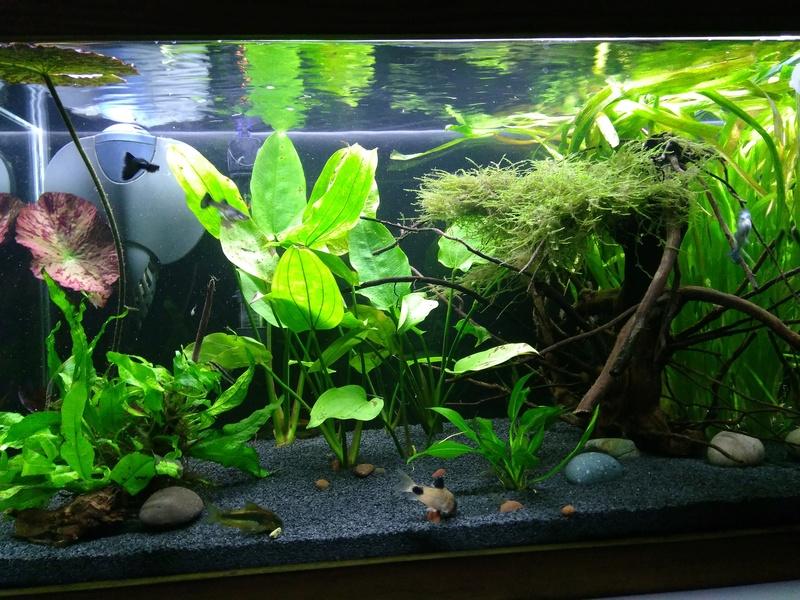 Nuevo acuario 60 litros guppys orejones Img_2014