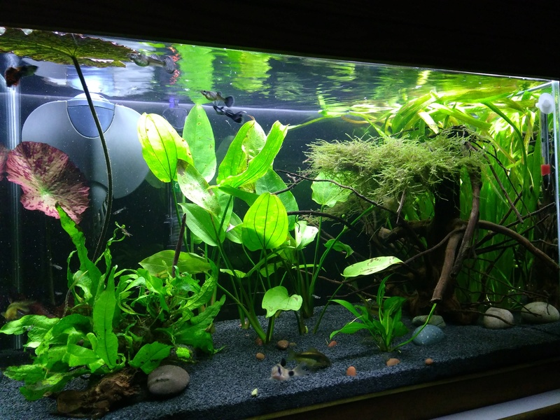 Nuevo acuario 60 litros guppys orejones Img_2015